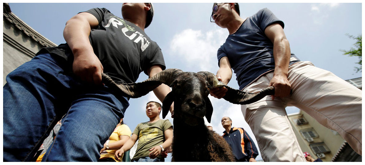 Goat is Ready to be Sacrificed